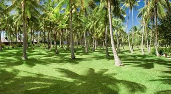 Vahine-Island-Coconut-Trees
