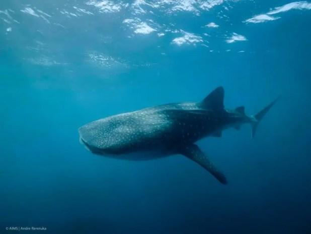 Whale shark rincodon typus
