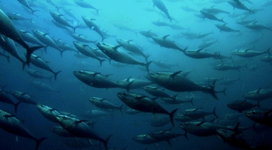 bluefin-tuna-japan