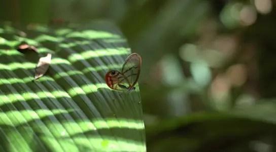 blushing-phantom-butterfly-Cithaerias-pireta