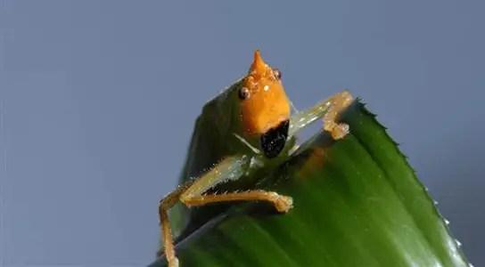 copiphora-gorgonensis-katydid-ear
