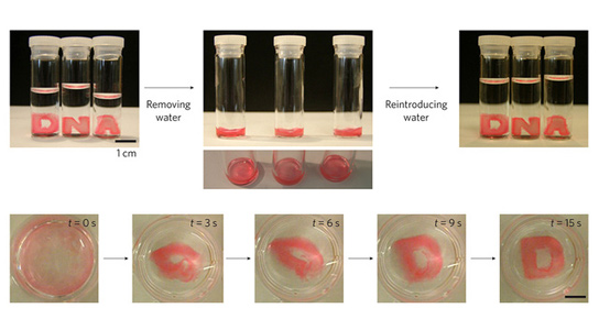 Hydrogels made in the form of the letters D, N and A collapse into a liquid-like state on their own but return to the original shape when surrounded by water. Credit: Luo Lab