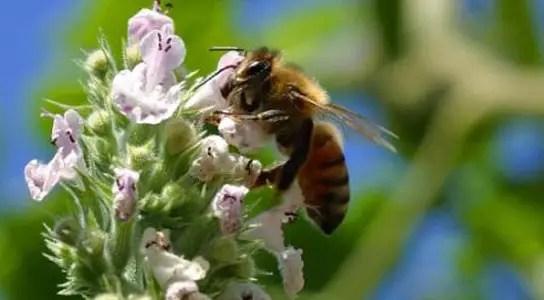 honeybee-forager