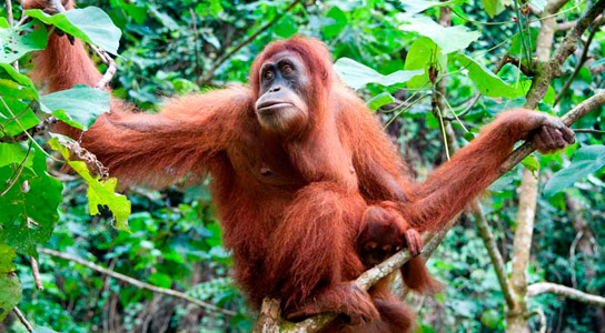 Orangutans Learn Using Tools Through Social Observation