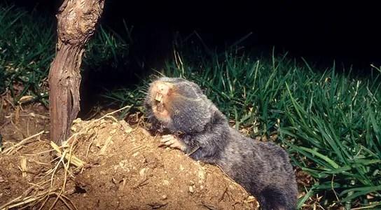 palestine-mole-rat