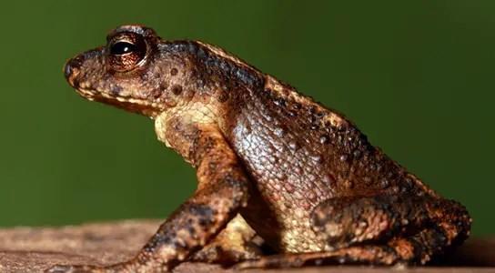 sri-lanka-kandyan-dwarf-toad
