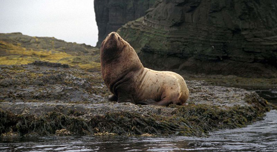 Protected California Sea Lions Devour Threatened Salmon In