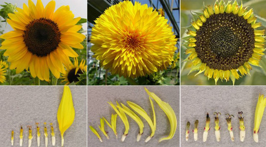 sunflower-arrangement-types