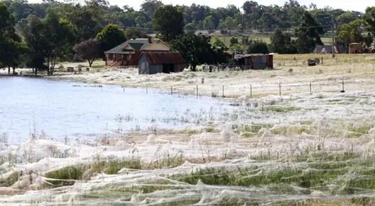 wagga-wagga-spiderwebs