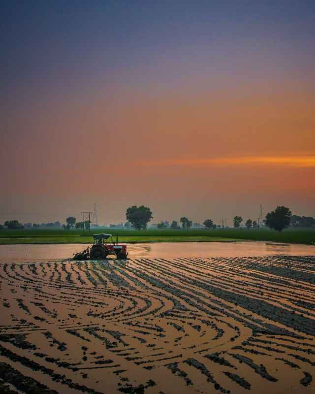 tractor harvesting crops in plantation at sunset