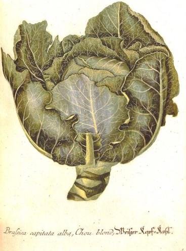 Brassica capitata alba