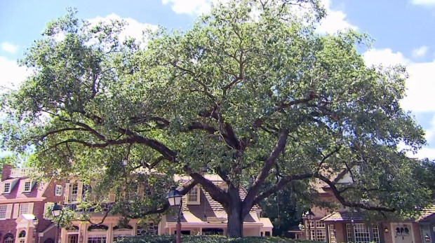 This is the Liberty Tree, a more than 130-year-old Oak Tree was found on the Walt Disney World property, dug up and transplanted to this position in the Magic Kingdom's Liberty Square prior to the park's opening in 1971. (Photo by Courtesy, Walt Disney World Resort)