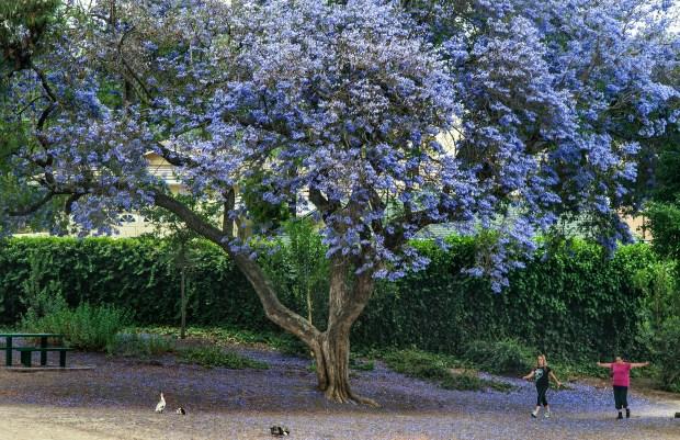 My Jacaranda Tree Is A Lot Like My Boyfriends Orange County Register