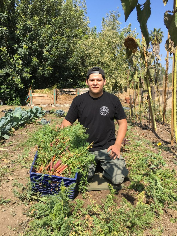 Monkey Business Cafe worker Juan Reynoso harvests carrots at the half-acre plot at the Fullerton Arboretum farmed in the I-CAN program. (Photo courtesy of Cal State Fullerton)