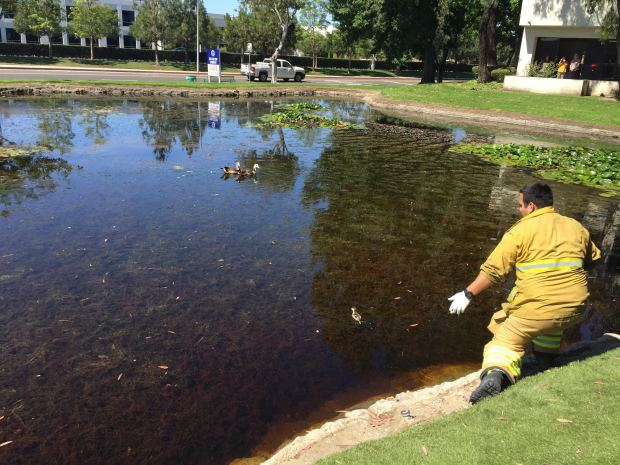 Firefighters, police and animal control officers rescued four ducklings Wednesday, June 28, 2017 from a storm drain in Santa Ana. (Courtesy OCFA)