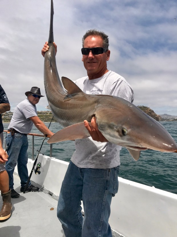 Capt. Chris Pica sets a soupfin shark free. In three decades the longtime fosherman and captain has never seen one of Orange county waters. (Photo courtesy Danawharf.com)