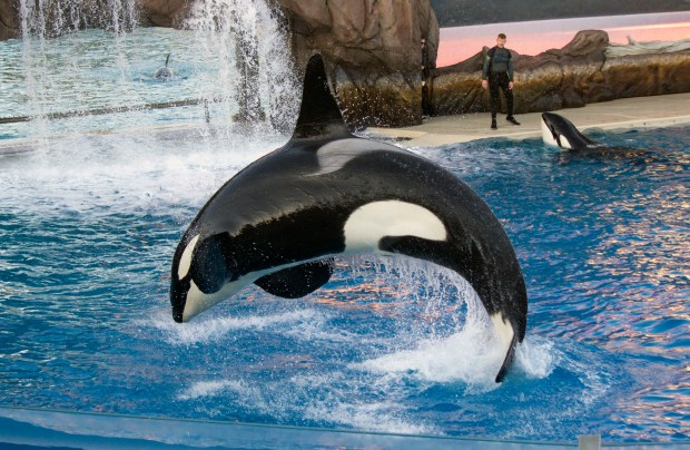 """An orca (killer whale) does a curling leap out of the water during the """"Orca Encounter"""" live show at SeaWorld San Diego. (Photo by Mark Eades, Orange County Register/SCNG)"""