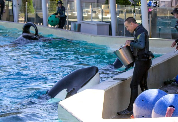Dine with Orcas is a chance (with reservations) to dine right next to the large water tank with the killer whales and their trainers at SeaWorld San Diego. There is a Breakfast with Orcas too. (Photo by Mark Eades, Orange County Register/SCNG)