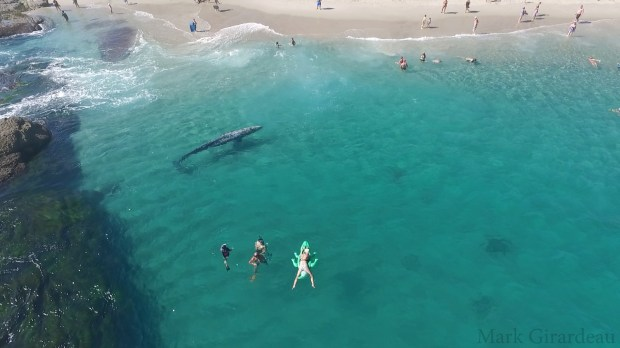 A juvenile Gray whale makes it's way around Aliso Beach in Laguna Beach after leaving Dana Point Harbor on Tuesday, August 8th. (Photo courtesy of Mark Girardeau)