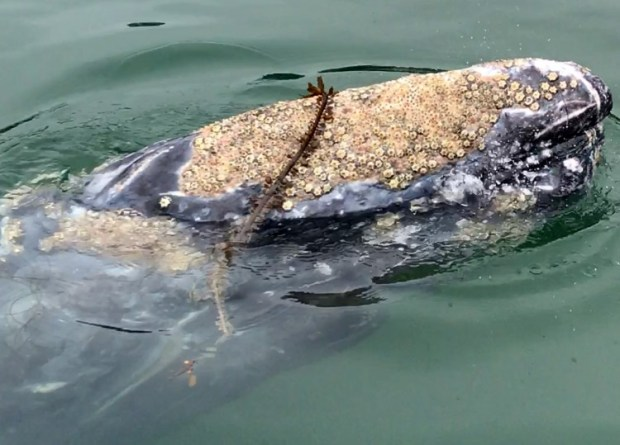 A Gray whale swims in Dana Point, on Tuesday, August 8, 2017.