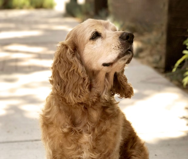 Admiral is about 9 years old. He's a neutered male cocker spaniel who's house-trained and good with kids, other dogs and cats. He's completely sweet and loves to just hang out. Contact ICARE Dog Rescue at adopt@icaredogrescue.org if you'd like to meet him. More info: icaredogrescue.org