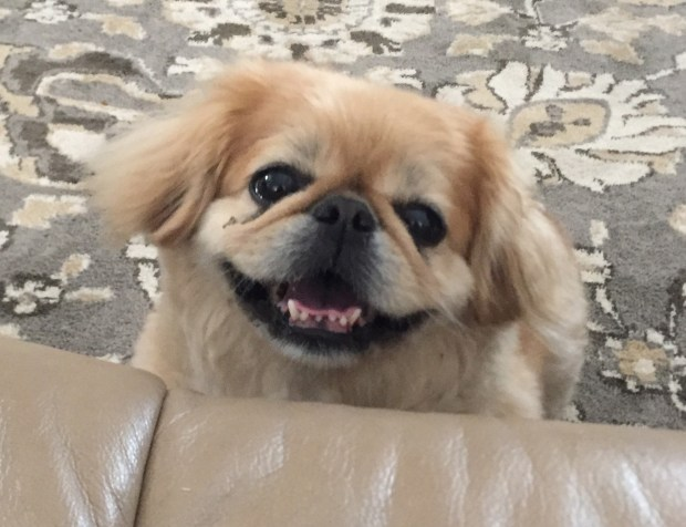 Winnie is a 4-year-old Pekingese available from Alura Always & Forever Pekingese Rescue. She's friendly and loves to play with toys, but can be a little bossy so would do best in a home with experienced Peke owners. Call Anna at 949-400-5735 if you'd like to meet her.