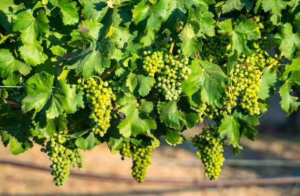 Grapes on the vine glow in the late afternoon sunlight at the Giracci Vineyards and Farms in Silverado, owned by Chad and Linda Kearns, on Friday, June 30, 2017. (Photo by Mark Rightmire, Orange County Register/SCNG)