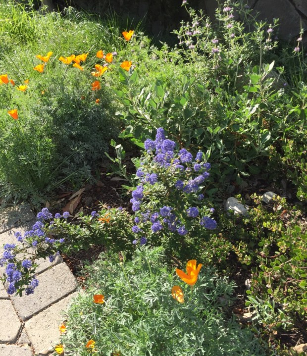 These flowering native plants in Linda Richards' garden in Redlands attract beneficial insects. They include California poppies, ceanothus, sage and St.Catherine's lace buckwheat (Erigonium giganteum). (Photo courtesy of Linda Richards)