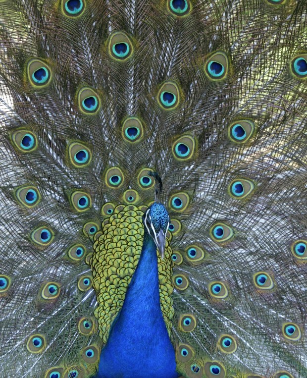 A peacock wanders at the Los Angeles Arboretum and Botanical Garden, which offers free admission on the third Tuesday of the month. (File photo by Nict Ut, Associated Press)