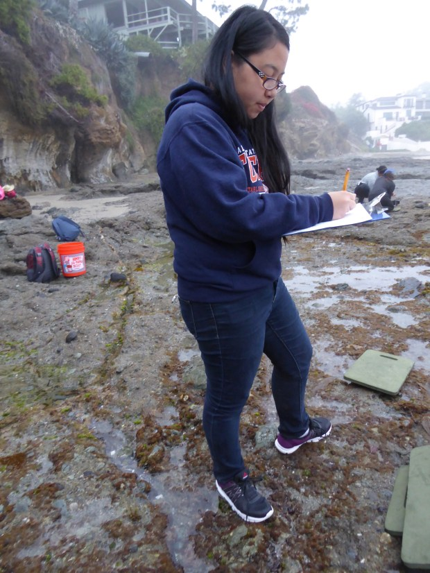 Cal State Fullerton student Shannon Chou studies the effects of low tide exposure on the photosynthetic performance of golden rockweed (Silvetia compressa), an intertidal alga. (Photo courtesy of Cal State Fullerton)