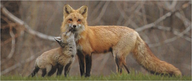 This photo of a mother fox and her kit from the 2018 Nature Conservancy calendar shows the kind of human-like emotions people like to attribute to animals, said Cal State Fullerton lecturer Arlene Ring.