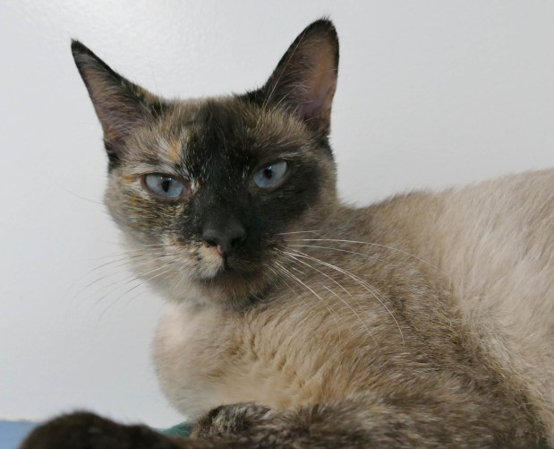Kyoko is a female Siamese-mix available for adoption at the Hawthorne spcaLA. She is 6 years-old. ID # 17-06500.   Photo by Robert Casilas, Daily Breeze/SCNG