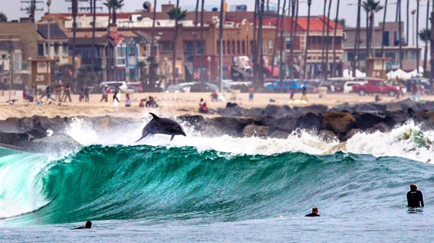 A dolphin jumps out of a wave in Newport Beach. (Courtesy Tom Cozad)