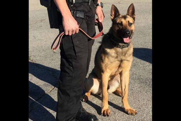 Glendale police K9 Duke helped apprehend a suspect on Nov. 17, 2017, after a residential burglary was reported on the 600 block of North Pacific Avenue. (Photo courtesy of the Glendale Police Department)