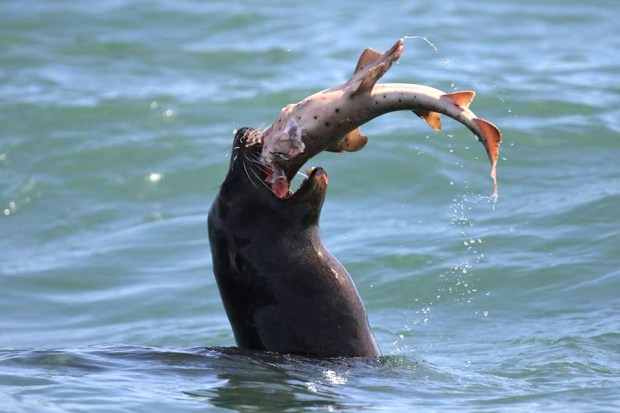A sea lion has a 4-foot long horn shark for lunch off the coast of Newport. (Photo courtesy of Ryan Lawler/ Newport Coastal Adventure)