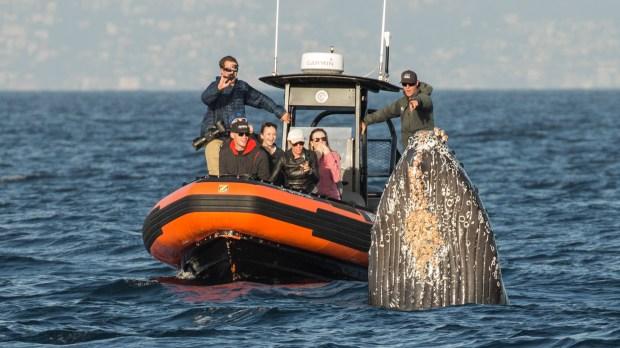 "Photographer Neil Barnes, aboard Dana Wharf Whale Watching boat, captures a humpback whale ""mugging"" passengers on Newport Coastal Adventure. Photo courtesy of Barnes."