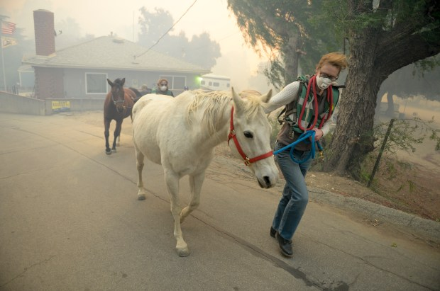 Horses are evacuated from a ranch along Kagel Canyon at the Creek fire Tuesday morning. ( Photo by David Crane, Los Angeles Daily News/SCNG)