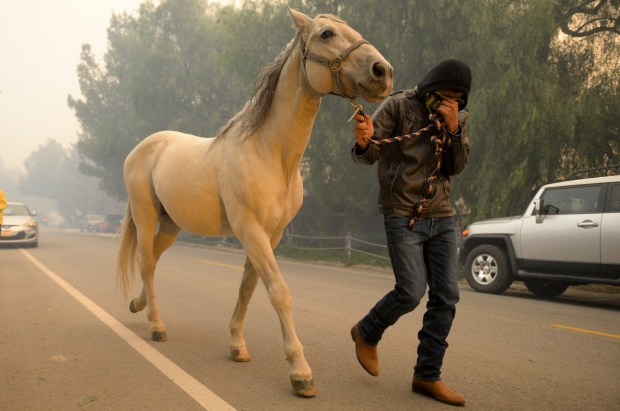 A horse is evacuated along Osborne street at the Creek fire Tuesday morning. ( Photo by David Crane, Los Angeles Daily News/SCNG)