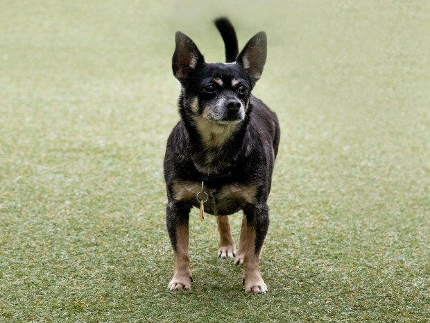 Sundance (A445610), a 10-year-old chihuahua, currently available for adoption. (Pasadena Humane Society & SPCA)
