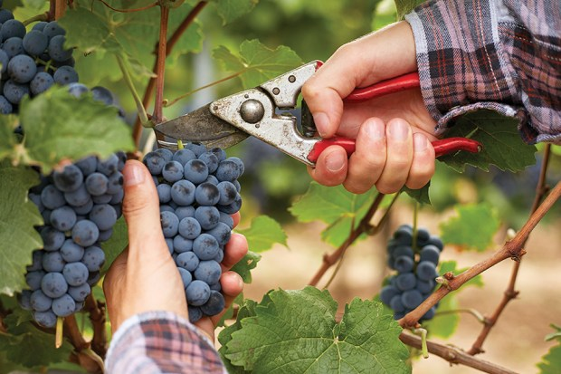 Farmers hands with garden secateurs and freshly blue grapes at harvest