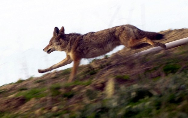 A coyote heads for cover after hikers pass by on the Skyline Trail above the Puente Hills Landfill. (Staff file photo)
