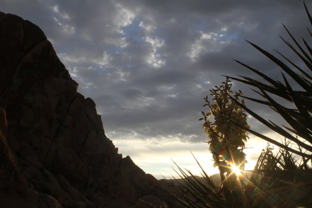 A Mojave yucca bloom catches the rising sun on March 21, 2017 in Joshua Tree National Park's Indian Cove Campground. Wildflowers are among the many attractions that lured a record number of visitors to the park last year. (Photo by Jennifer Iyer, Staff)