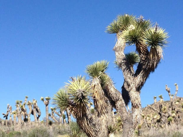 Joshua trees sprawl along a trail in the Black Rock Campground area of northwestern Joshua Tree National Park on March 12, 2016. The popular desert park set an attendance record that year, then smashed it again in 2017. (Photo by David Downey, Staff)