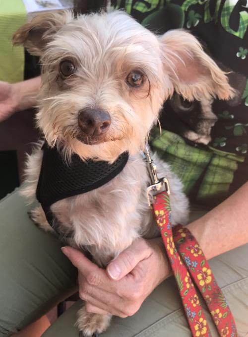 Bobby is available for adoption. (Photo courtesy of Cause for SB Paws )