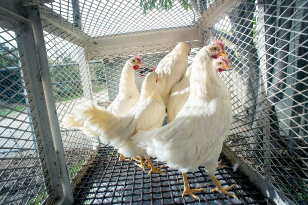 These white leghorn laying chickens, used as a sentinel to detect the presence of mosquito-borne diseases, such as West Nile Virus, are placed at El Dorado East Regional Park in Long Beach. The Greater Los Angeles County Vector Control District places sentinel chickens throughout the county to detect diseases. (Correspondent photo by Leo Jarzomb)