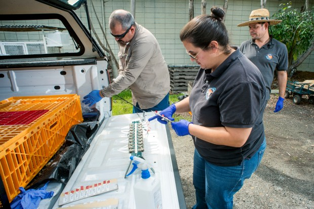 Greater Los Angeles County Vector Control District vector ecologists from left rear: Steve Vetrone, Tanya Posey and Harold Morales prepare to tag and take blood samples from white leghorn laying chickens that are used as a sentinel to detect the presence of mosquito-borne diseases, such as West Nile Virus, at El Dorado East Regional Park in Long Beach. (Correspondent photo by Leo Jarzomb)