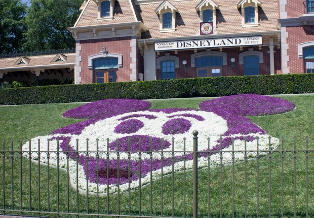 Mickey Mouse in flowers is always in bloom at Disneyland in front of the Main Street Station for the Disneyland Railroad. In the spring it is made up of white and purple Sweet Alyssum (Alyssum maritimum) and is kept up year round for this popular location for photos with the family by being re-planted up to eight times each year. (Photo by Mark Eades, Orange County Register/SCNG) Taken in Anaheim at Disneyland on Wednesday, April 5, 2017.