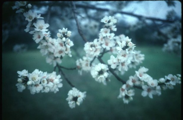 """Almond trees are highly ornamental with beautiful flowers, and are small to medium in size. (Ottillia """"Toots"""" Bier, Contributing Photographer)"""