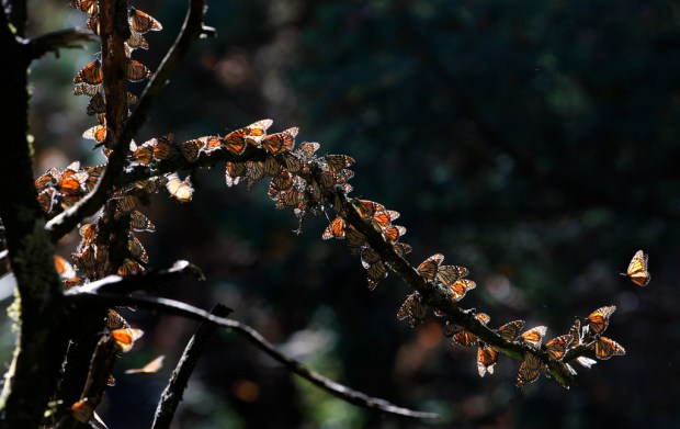 FILE - In this Feb. 26, 2009 file photo, Monarch butterflies gather on a tree branch at the Monarch Butterfly Biosphere Reserve near the town of Chincua, Mexico. Mexican environmental inspectors said Wednesday, Feb. 21, 2018, they found 7.4 acres (3 hectares) of illegal avocado plantations in the Monarch butterfly wintering grounds west of Mexico City. It's apparently the first time that a wave of avocado planting has directly affected the heart of the Monarch area, a protected nature reserve. (AP Photo/Marco Ugarte, File)