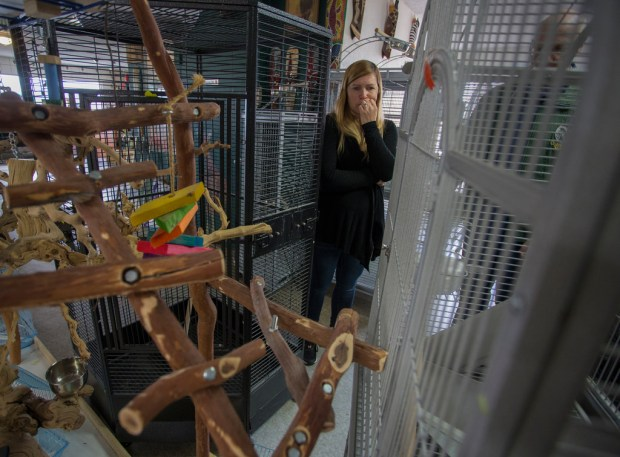 Lori Lister, one of the owners of Birds-N-Paradise in Menifee, looks at damage burglars caused when they broke into her store and stole six parrots early Friday, March 16, 2018. (Photo by Andrew Foulk, Contributing Photographer)